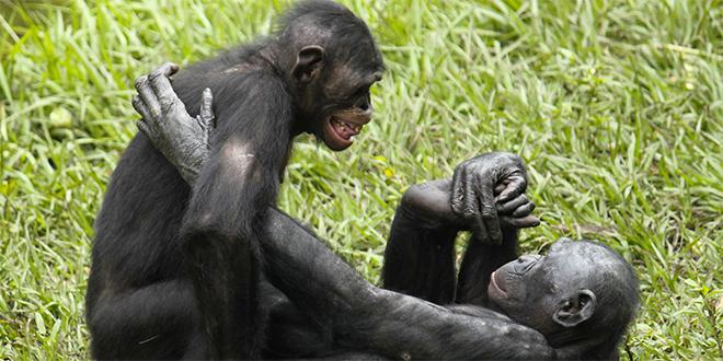 Les migrants violent comme les bonobos et harcèlent sexuellement comme les dauphins
