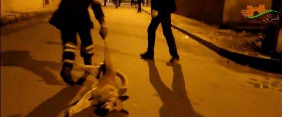 L'abattage massif de chiens continue au Maroc ( Vidéo )
