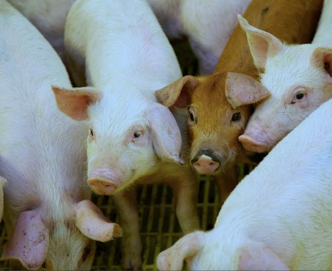 Au Canada nous produisons plus de porc que nous n'en mangeons… mais nous en importons !