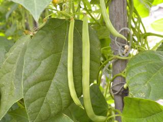 Des haricots verts «haram» ou à rames ?
