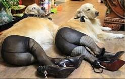 Au Danemark s'ouvre le premier bordel zoophile d'Europe : des chiens livrés à la prostitution [MAJ : FAKE NEWS]