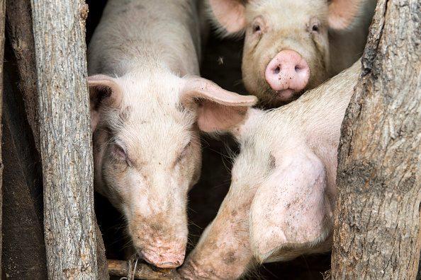 Scandale du porc contaminé : l'OMC avait interdit les embargos sanitaires