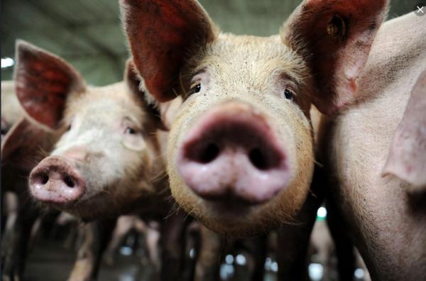 Tout est bon dans le cochon!! Greffe de rein de porc aux hommes…