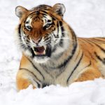 Edmond le Tigre