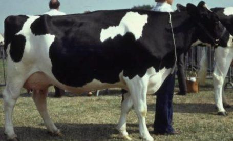 vache-noire-et-blanche.jpg